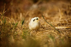 Tiny yellow and black baby chicken. Yellow and black chick alone in a field looking at the camera Royalty Free Stock Images