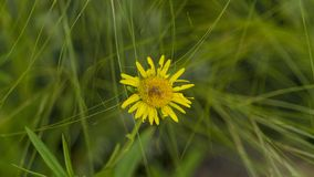 A view of isolated small yellow flower on grass