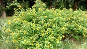 Tiny yellow flowering hub. This flowering hub in Indian garden Stock Photography