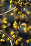 Yellow Tree Flowers. Tiny, yellow flowers grow all over the branches of a tree in early spring or late winter stock photo