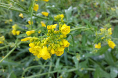 Tiny yellow flowers. Under rain drops Royalty Free Stock Images