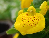 Tiny Yellow Orchid Royalty Free Stock Photography