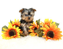 Tiny Yorkie Puppy Royalty Free Stock Image