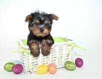 Easter Yorkie Puppy Stock Images