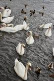 Tio svanar och en melee av gräsandänder som simmar in mot banken för bröd royaltyfria bilder