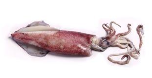 tioarmad bläckfisk Arkivbilder