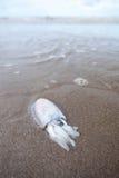 tioarmad bläckfisk Royaltyfri Foto
