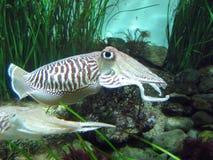 tioarmad bläckfisk fotografering för bildbyråer