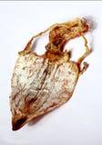 tioarmad bläckfisk Royaltyfri Bild