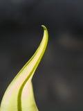 Tip of The Aspleniaceae Fern Stock Photo