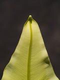 Tip of The Aspleniaceae Fern Stock Images