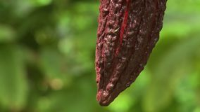 Tip of Cocoa Pod. Steady, extreme close up of a cocoa pod tip stock video