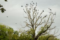 The tip of a leafless tree full of black crows. royalty free stock photo