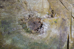 The tip of the old stump 1. The tip of the old stump. Figure after the tree was felled. See the core and the concentric annual rings Royalty Free Stock Image