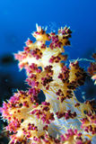 Tip of Soft coral. White, orange and reddish Soft coral tip Stock Photos