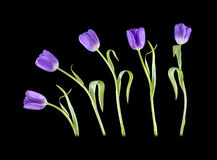 Tip Toe Tulips. View of Tulips on a black background royalty free stock images