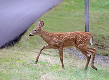 Tip Toeing Fawn Royalty Free Stock Images