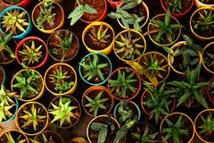 Tipi di aloe Vera Plant da vendere nel negozio della scuola materna Immagine Stock