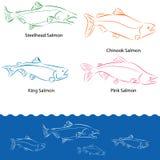 Tipi di salmoni Fotografia Stock
