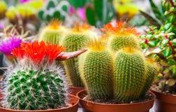 Tipi differenti di cactus fotografie stock
