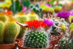 Tipi differenti di cactus fotografia stock libera da diritti