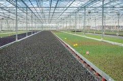 Tipi differenti di giovani piante del cavolo in una serra moderna c Immagine Stock Libera da Diritti