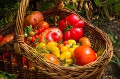 Tipi differenti di pomodori Fotografie Stock Libere da Diritti