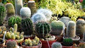 Tipi differenti di supporti dei cactus sul contatore n Fotografia Stock Libera da Diritti