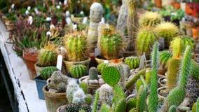 Tipi differenti di supporti dei cactus sul contatore n Fotografia Stock