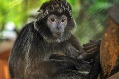 Tipo animali della scimmia fotografia stock