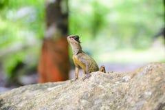 Tipo asiático en la roca, animal del camaleón Imágenes de archivo libres de regalías