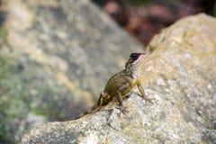 Tipo asiático en la roca, animal del camaleón Fotografía de archivo