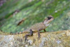 Tipo asiático en la roca, animal del camaleón Imagenes de archivo