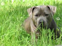tipo azul cão do pitbull Imagens de Stock Royalty Free