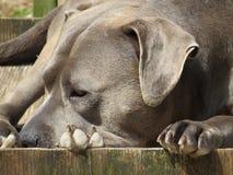 tipo azul cão do pitbull Fotos de Stock Royalty Free