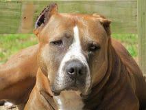Tipo branco cão do pitbull de Brown Imagens de Stock Royalty Free