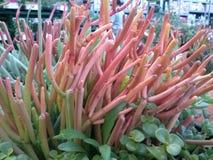 Tipo coralino succulent imagen de archivo libre de regalías