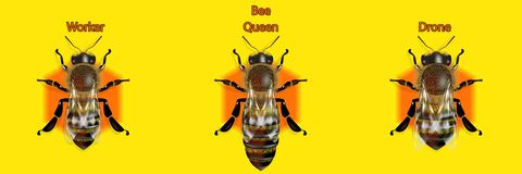 Tipo de abejas en los comp de la miel stock de ilustración