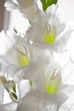 Tipo de flor Imagem de Stock Royalty Free