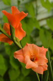 Tipo de flor coral Imagem de Stock