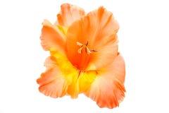 Tipo de flor isolado Fotografia de Stock Royalty Free