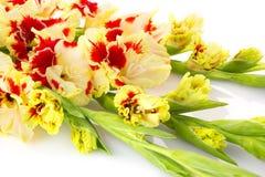 Tipo de flor vermelho e branco bonito horizontal isolado Fotografia de Stock