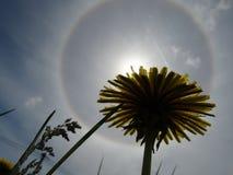 Tipo de halo atmosférico do fenômeno ótico através do prisma de um dente-de-leão imagem de stock royalty free