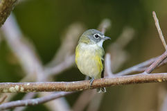 tipo de pássaro Azul-dirigido (solitarius do tipo de pássaro) Fotografia de Stock