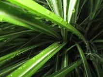 Tipo de pingos de chuva no folhas afiadas fotografia de stock royalty free