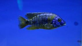 Tipo de piranha ou de peixes Fotos de Stock Royalty Free
