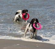 Tipo de trabajo lindo perros de aguas de saltador inglés que juegan en el mar Fotografía de archivo