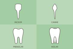 Tipo del dente - incisivo, canino, premolare, molare, vettore dentario del fumetto illustrazione vettoriale