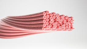 Tipo del músculo: Músculo liso - corte transversal a través de un músculo con las fibras de músculo visibles - representación 3D stock de ilustración