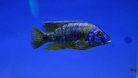 Tipo di piranha o di pesce Fotografie Stock Libere da Diritti